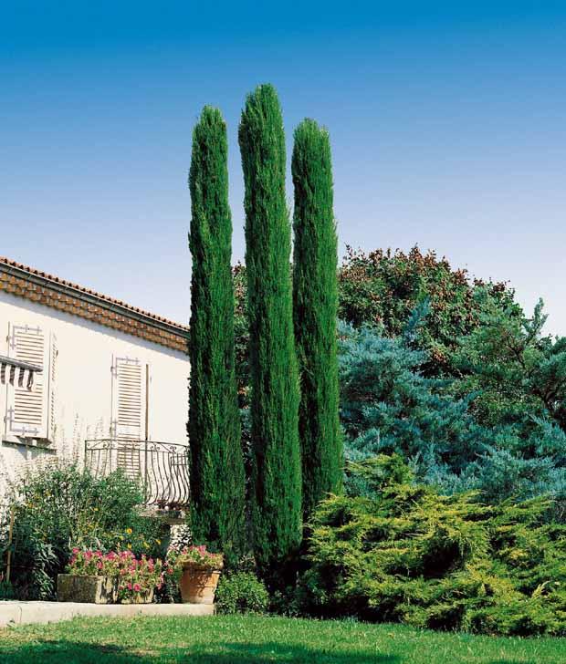 Cat gorie arbre et buisson du guide et comparateur d 39 achat - Cypres d italie totem ...
