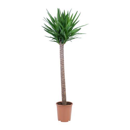 Catgorie plante dextrieur page 3 du guide et comparateur d for Yucca elephantipes exterieur