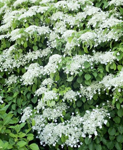 Catgorie plante dextrieur du guide et comparateur d 39 achat for Colore ortensia