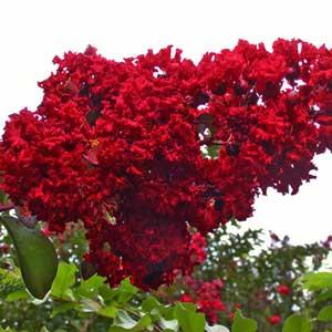 Catgorie arbre et buisson du guide et comparateur d 39 achat - Arbre lilas des indes ...