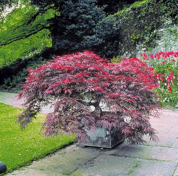 Catgorie arbre et buisson du guide et comparateur d 39 achat - Arbre rose japon ...
