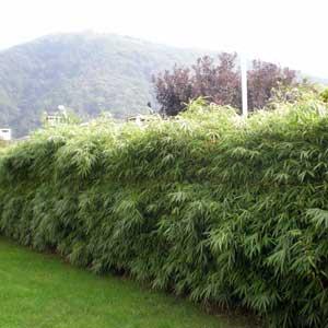 Catgorie plante dextrieur du guide et comparateur d 39 achat for Plante bambou exterieur