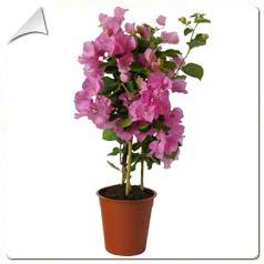 Catgorie plante dextrieur du guide et comparateur d 39 achat for Stephanotis exterieur